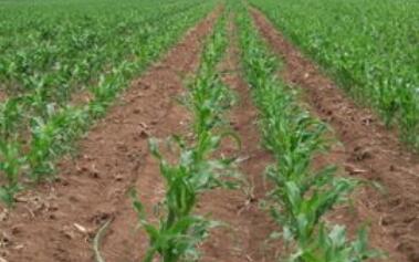玉米播种出苗时间